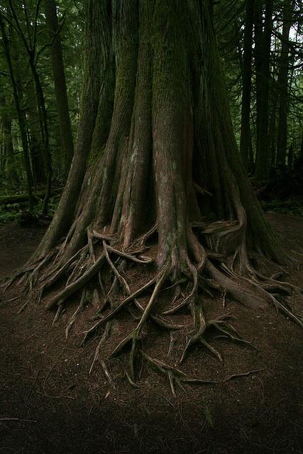 Impressive roots / Vancouver Island, Canada #GILOVEBC