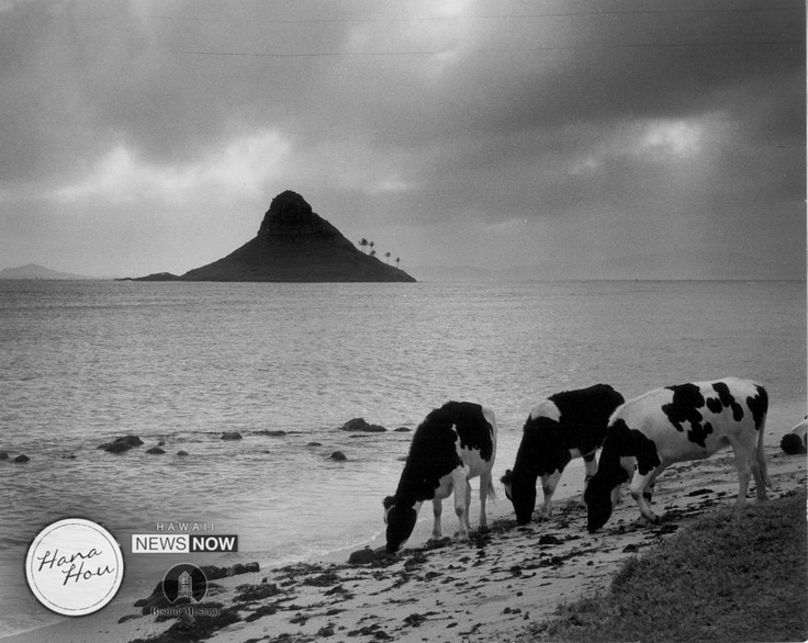 It's hard to remember Kualoa Beach Park like this! Back in 1960, this area was still part of a private ranch, and cows grazed on seaweed.    source:Hawaii News Now