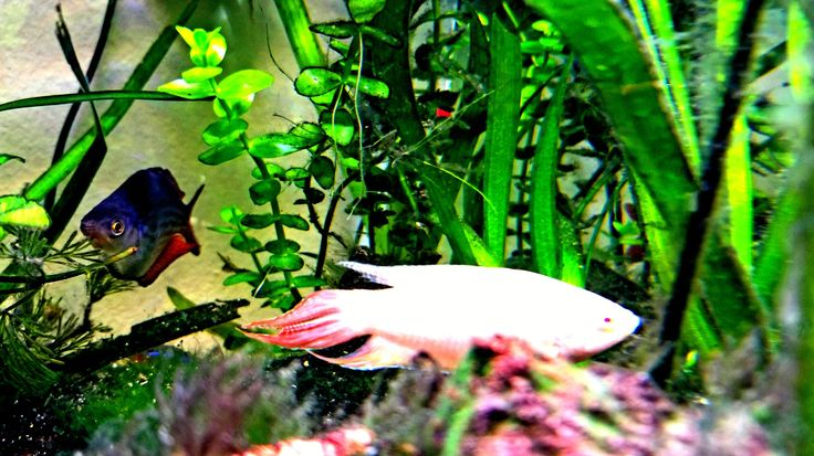 Male Australian Rainbow Fish,  Male Albino Paradise Fish