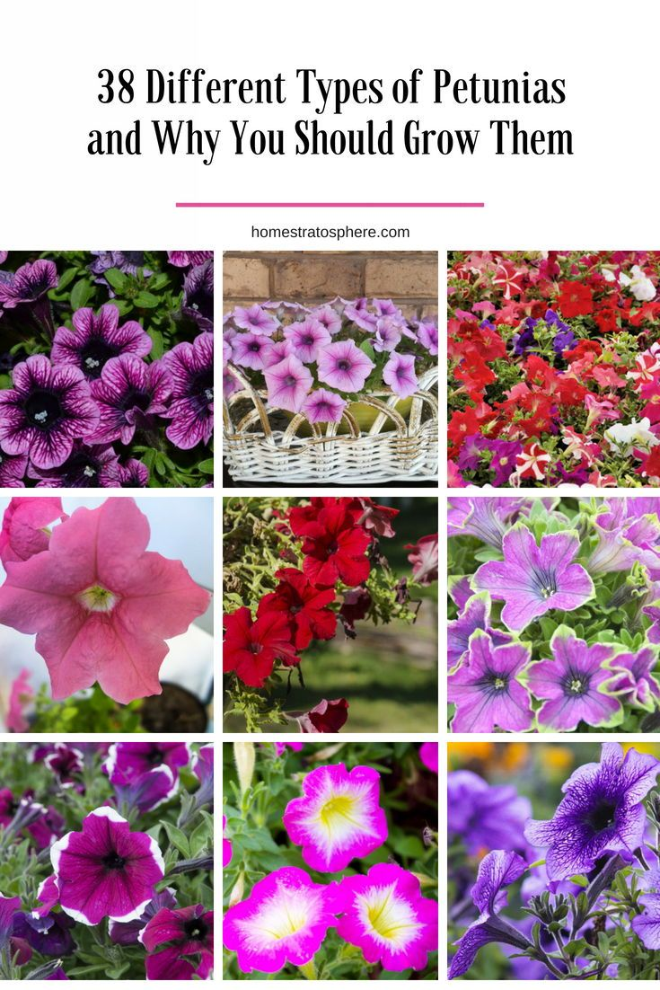 38 Different Types Of Petunias And Why You Should Grow Them Petunia Flower Petunias Flowers