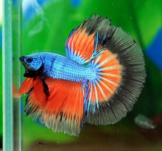 Blue orange dragon