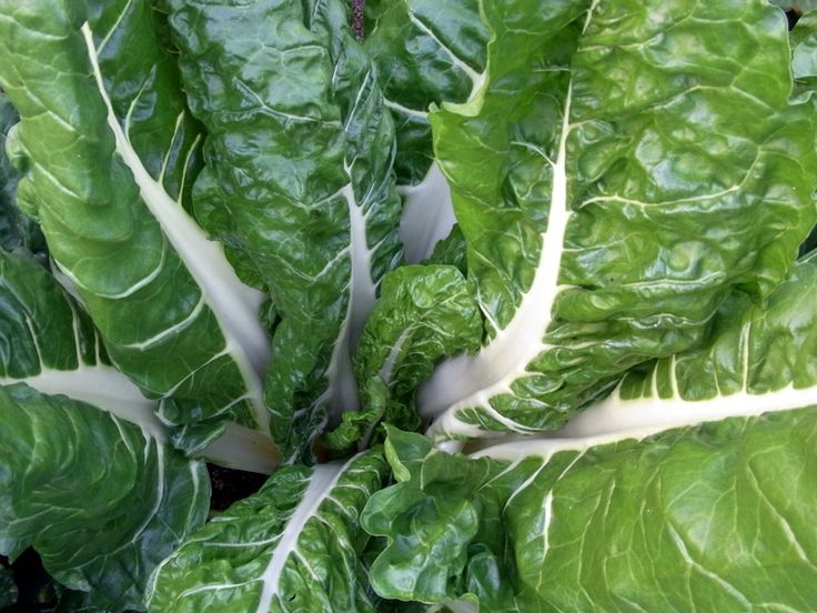 All hail silverbeet, this leafy vegetable is iron rich and grows year round and our website has an easy, tasty silverbeet and fetta vegetrian quiche.