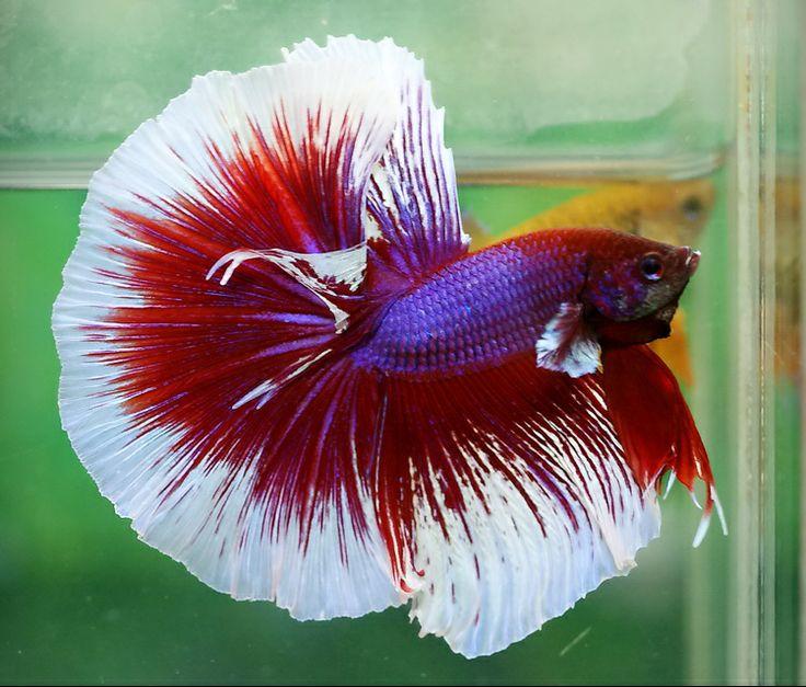 1000 images about beautiful betta 39 s on pinterest betta for Show betta fish