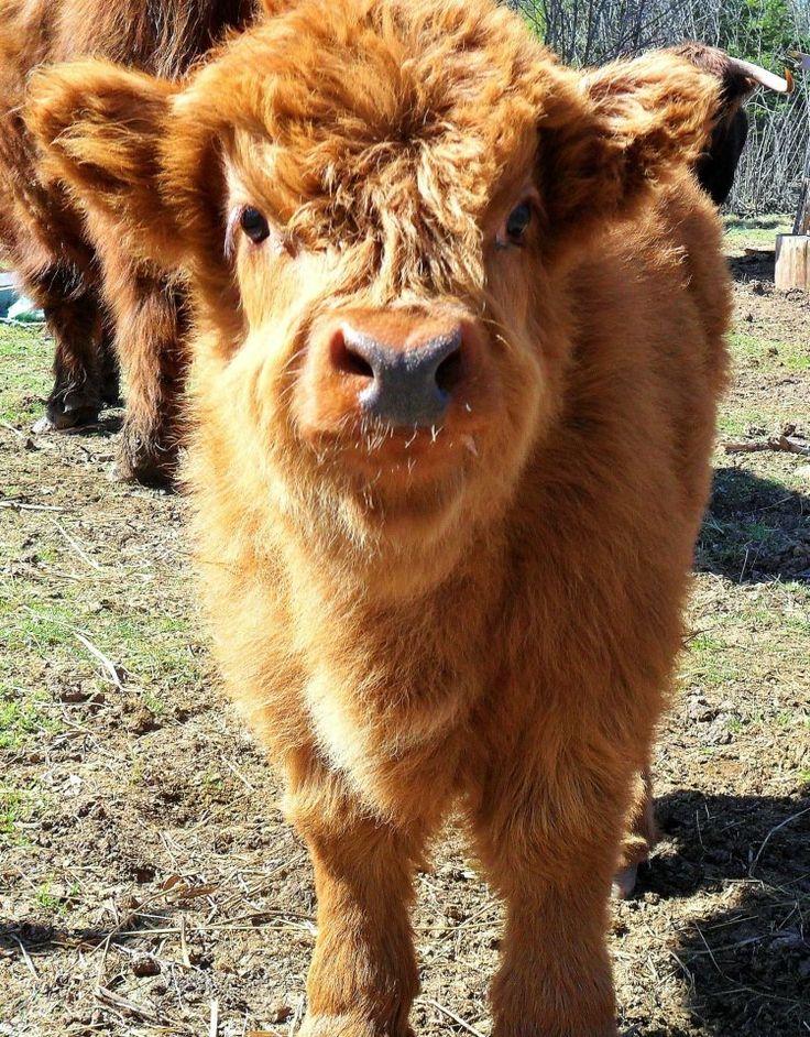 Highland coo says hi