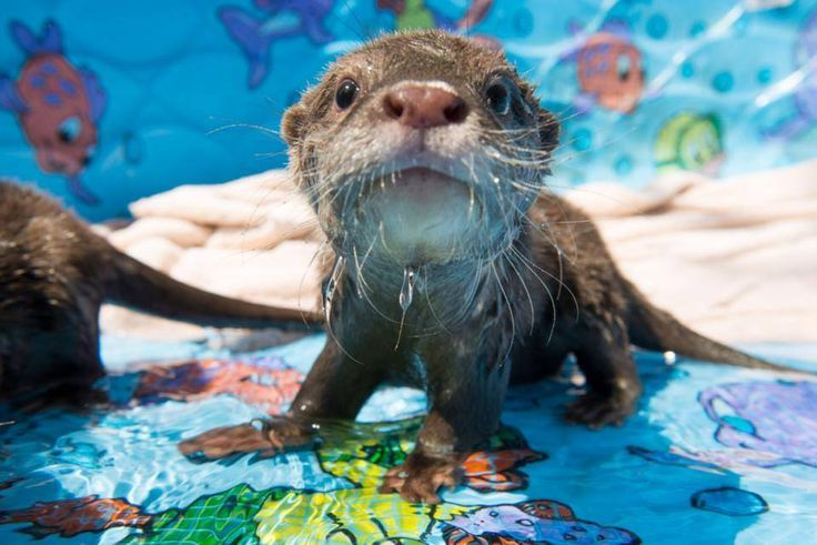 Otter in the kiddy pool                                                                                                                                                                                 More