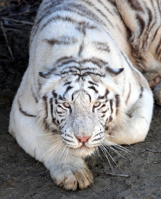 """""""White Tiger at the *Everland Zoo, Yongin, Gyeonggi-do, South Korea*"""" [Photo by floridapfe (IN CHERL KIM) - March 6 2009]'h4d'120922"""