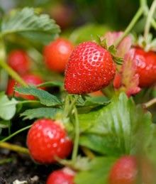 Everbearing Strawberry Plants for Sale | Fast Growing Trees