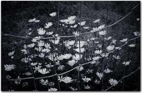 Shooting daisies | Botanical, Black and White Collection | George Fivaz Fine Art Photography Gallery | Limited edition print available for purchase  on www.georgefivaz.com