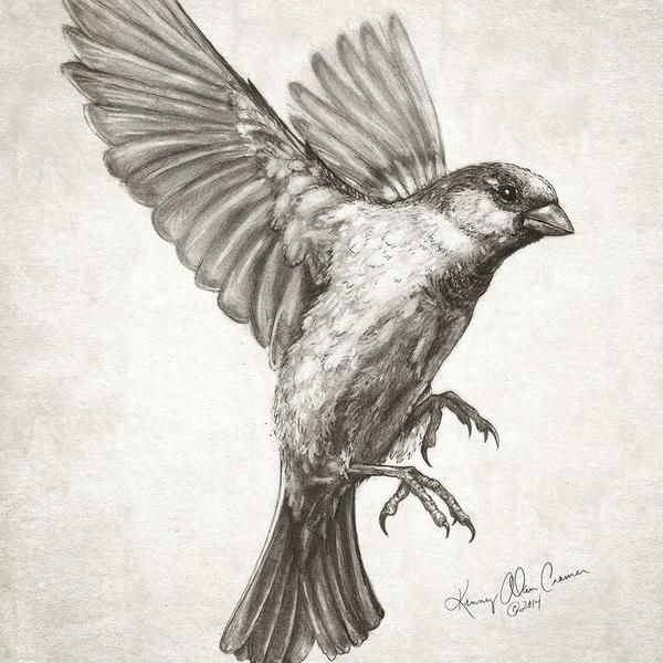"""Kenny Cramer en Twitter: """"Sparrow flying #drawing for new #artwork featuring…"""