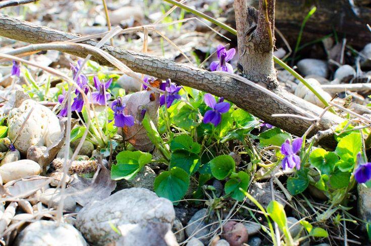 Essbare Wildpflanzen – 5 Frühlingsboten der besonderen Art!