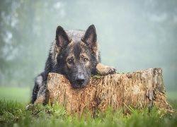 Pies, Owczarek, Pień, Drzewa