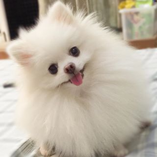 This cute Pomeranian is looking for a new friend...and dinner too!
