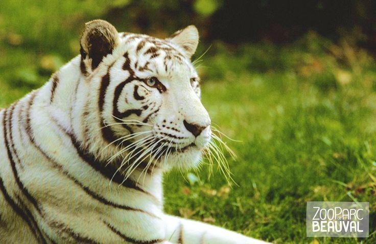 #Tigre blanc au ZooParc de Beauval