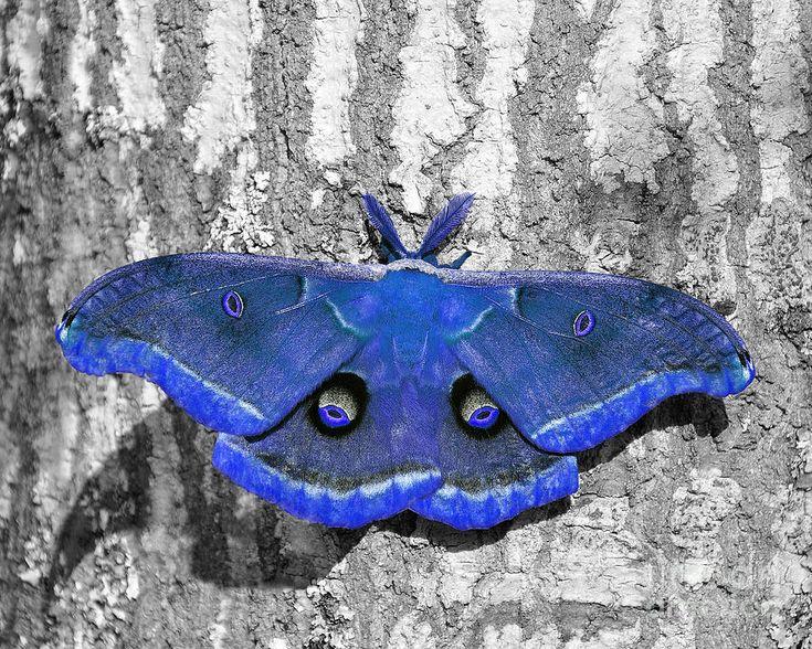✯ Magnificent Male Moth - Dark Blue