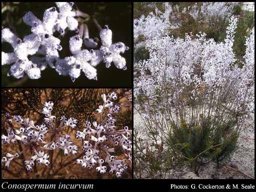 Conospermum incurvum - Plume Smokebush
