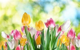 Tulip flor close-up, branco, amarelo, flores roxas, fundo desfocado