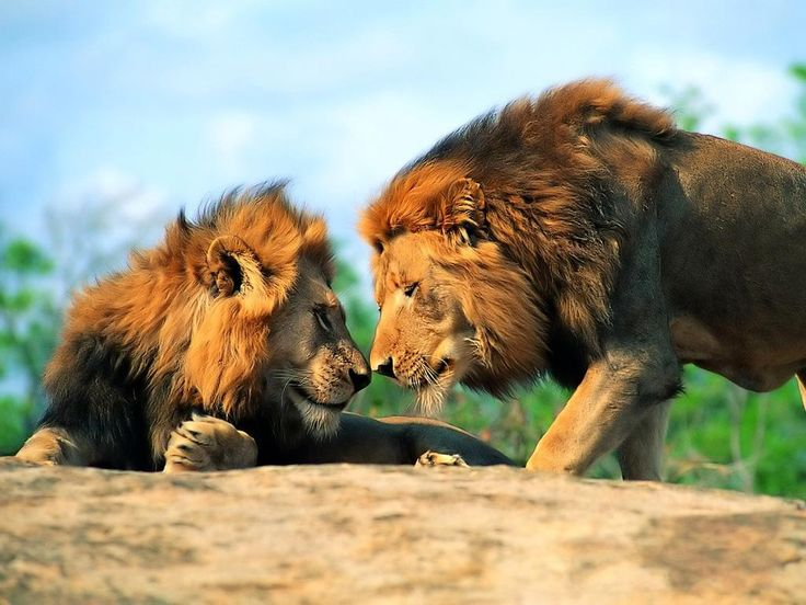 Google Image Result for http://coolwallpaperz.info/user-content/uploads/wall/o/37/african-animals-lions-photography-are-large-predators-110404.jpg