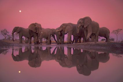 African elephants at twilight, Chobe National Park, BotswanaAfrican Elephant, Nature, National Geographic, National Parks, Pink Elephant, Earth Day, Earthday, Animal, Fran Out