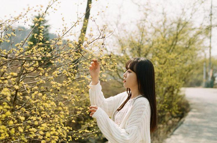 #현수필름  꽃피드가 시작됐다아! . . Md @julie_film  #20160331 #yashica #yashicafx3 #film #analog #landscape #flower #filmcamera #filmphotography #profile #portrait #야시카 #필름 #아날로그 #산수유 #산수유마을 #필름사진 #필름카메라 #인물스냅 #개인촬영 #양평산수유마을 #봄사진