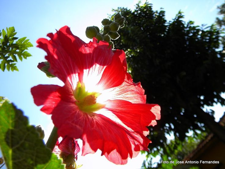 Hibiscus photo by Jose Antonio Fernandes