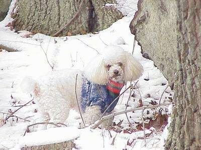 Toy Poodle Dog Breed Information and Pictures, 2