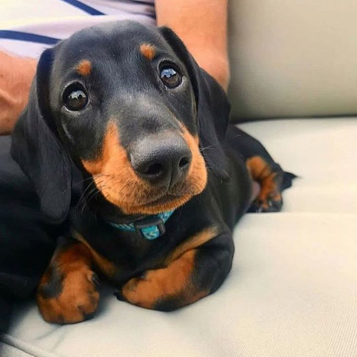 This Looks Like My Baby Just Mine Is Black And White Dachshund