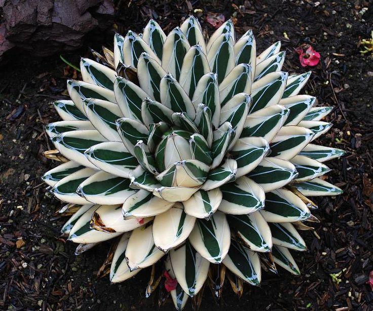 Agave victoriae-reginae white queen