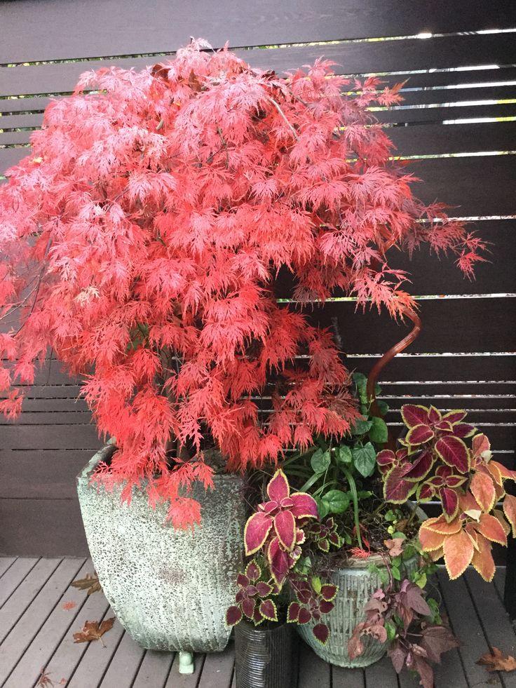 Orangeola Japanese maple Fall 2015
