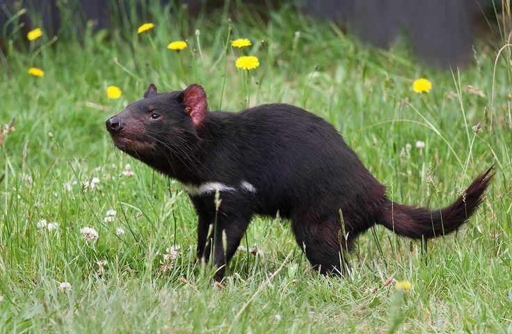 Un animale in pericolo: il diavolo della Tasmania Il diavolo della Tasmania, è considerato una specie in pericolo e inserito nella lista rossa dell'lucn, perché la sua popolazione è in continua diminuzione: e principale causa  è il tumore facciale c #diavolo #tasmania #pericolo