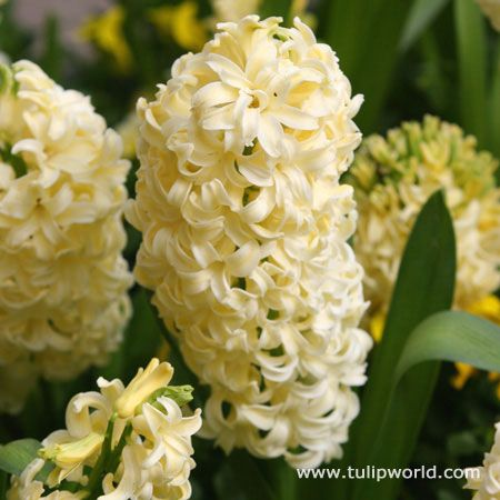Yellow Hyacinth, so pretty! (City Of Haarlem Hyacinth variety)Gardens White, Beautiful Flower, Gardens Ideas, Yellow Hyacinth, Little Gardens, Front Yards, Haarlem Hyacinth, White Hyacinth, Bulbs Gardens