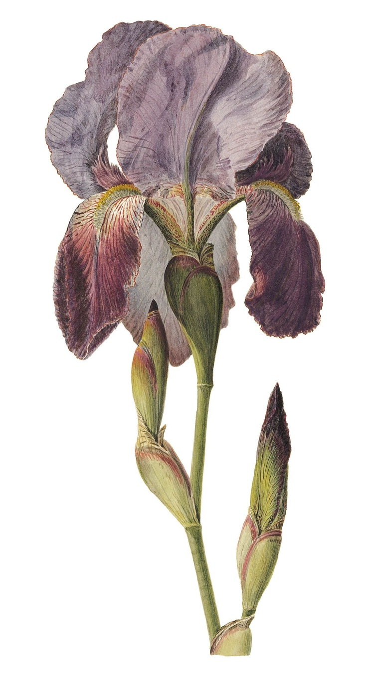 243 best my iris garden images on pinterest iris garden bearded a drawing of iris germanica from flore du dsert a collection of plant portraits by izmirmasajfo