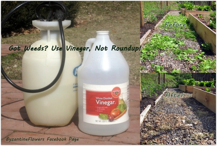 Got Weeds? Use Vinegar, Not Roundup!