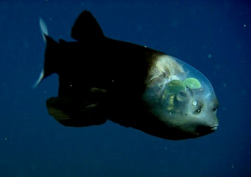 Barreleye Fish Macropinna microstoma GIF, the green orbs are its eyes, scanning the water above for food, the black spots are its nares. It is a 7-in long deep sea fish described in 2009.