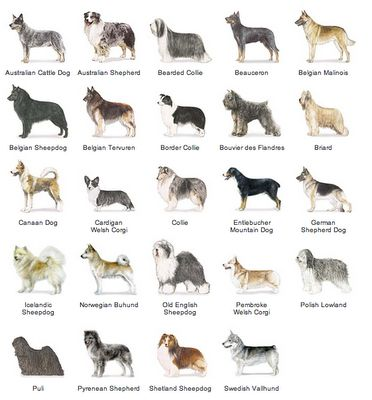AKC Breeds by Group - Herding Dogs 1 of 7