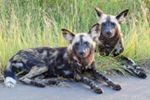 Always a special sighting! These Wild Dogs were spotted close to Phabeni Gate in the Kruger Park!