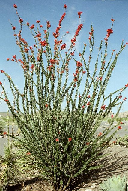 Ocotilla - This is a really cool neutral plant that adds a vertical element and height to the garden, yard, and landscape. It does well in the heat and harsh soil. Other than when it is in bloom the Ocotillo is a grayish neutral color that goes well in most any Southwest, desert, Arizona, or New Mexico landscaping.image by JustTooLazy, via Flickr