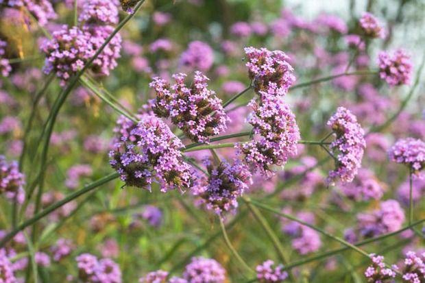 Verbena, flores púrpuras, planta tolerante al calor, plantas tolerantes a la sequía, bonariensis de la verbena,