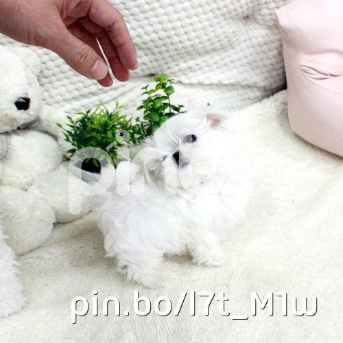 Regalo cachorros de mini toy Bichon Maltes