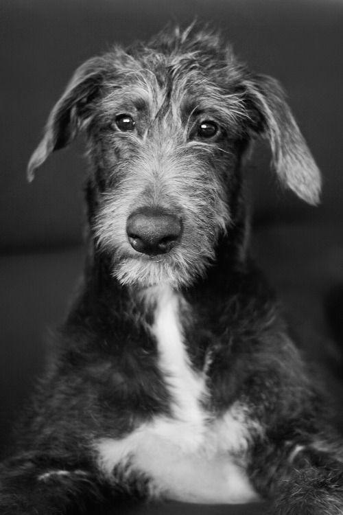 Scottish deerhound pup | Tumblr so cute