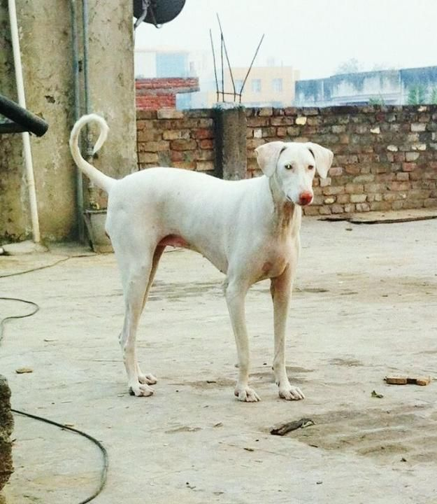 Cross Dogs For Sale In Coimbatore
