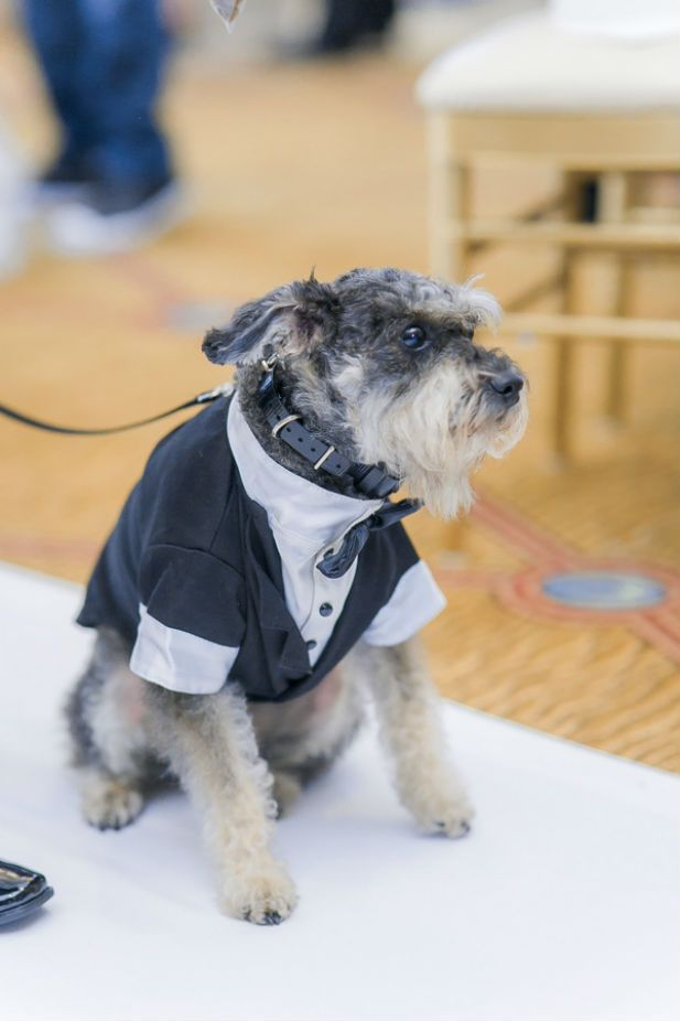 This little pooch is suited up for the wedding day. Too cute! (Photo by Vivian N Photos)