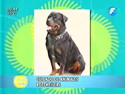 ¡Te damos tips sobre el cuidado de los Rottweilers! - YouTube