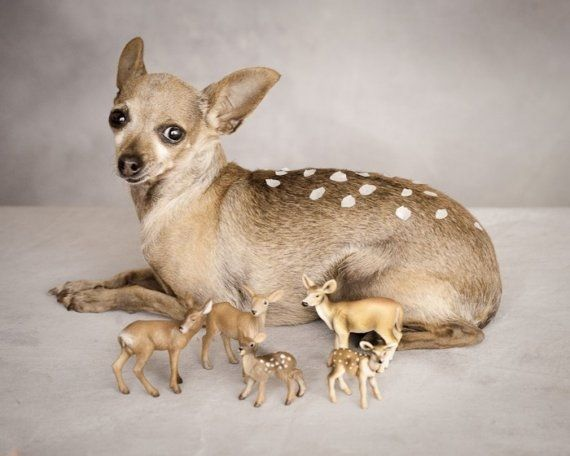 literally a deer head chihuahua. Poor lil dog, lol ...