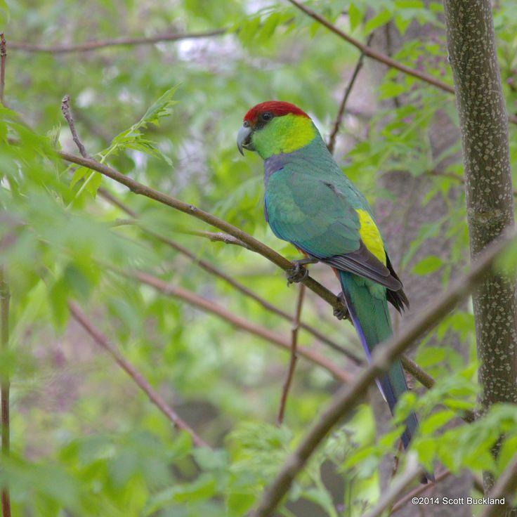 Red-capped Parrot - Mundaring, Western Australia - ©2014 Scott Buckland