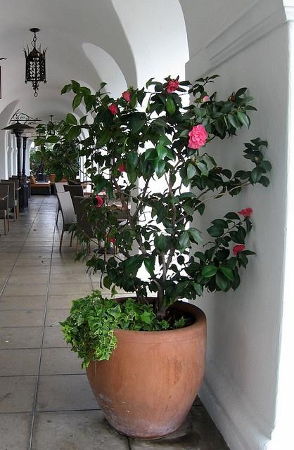 El Paseo Camellia by catzcartas, via Flickr