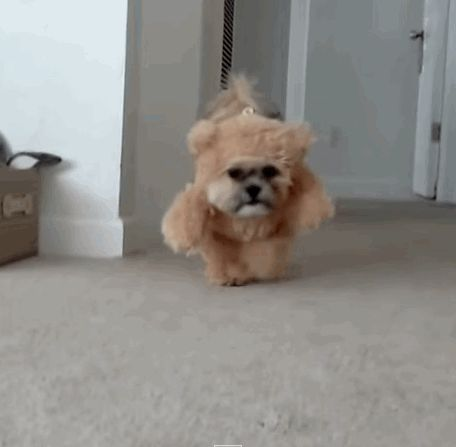 teddy-bear-dog-costume.gif