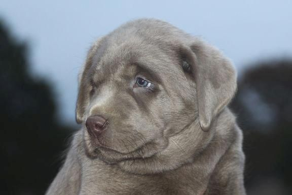Silver Labs For Sale Breeder Of Silver Labrador Retrievers