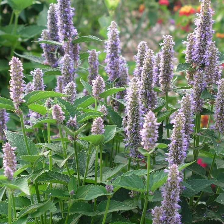 17 best images about food forest on pinterest the plant for Agastache cuisine