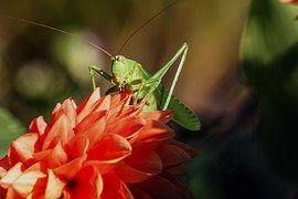 Heuschrecke, Insekt, Heupferd, Natur