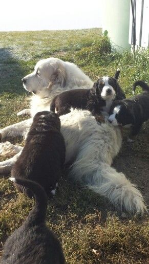 Bernese Mountain Dog puppies playing with Caesar the Great Pyrenees